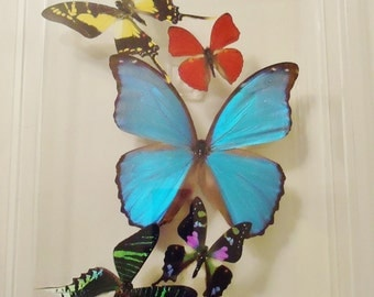 butterfly display, framed butterflies, mounted butterflies, real butterfly art, butterflies in acrylic cases