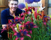 5 Tango Lily Bulbs Red & Black Flowers ~ plant now for flowers this spring/summer. Hardy zones: 3-9; easy to grow perennial, will multiply!!