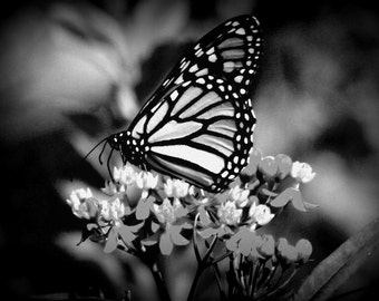 monarch butterfly in black and white
