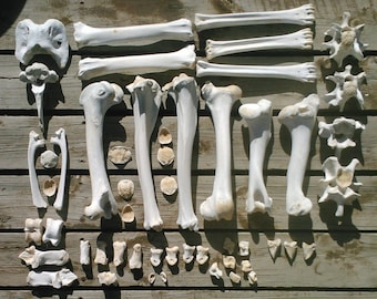 Wild Amimal Bones by the POUND Cleaned/Sanitized (Boiled) for Crafting/Jewelry/Sculpture/Costume Design. Found Real Bone (Mostly Elk/Bison)
