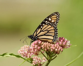 monarch, butterfly, photo, print, butterfles, milkweed, plant, insects, photography, home decor, wall art, nature, wildlife