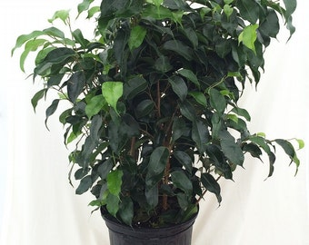 """Midnight Weeping Fig Tree - Ficus 4"""" Pot (FREE SHIPPING)"""