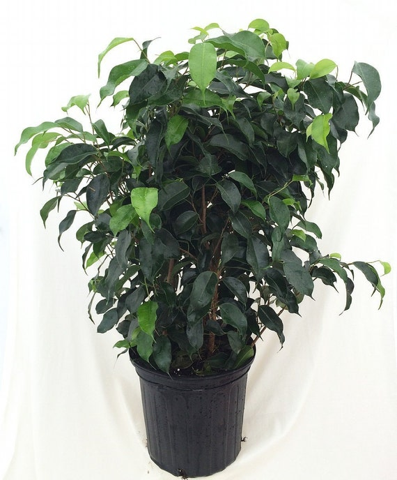 Midnight Weeping Fig Tree Ficus 4 Pot Free Shipping