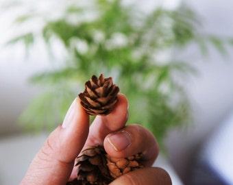 SALE 150 hemlock cones, mini pinecones | dried Potpourri | Natural dried pinecones | pinecones dried accent| Christmas decor, craft supply