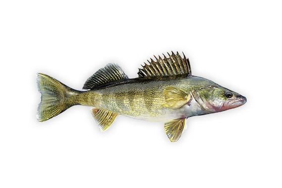 Walleye Walleye Decal Walleye Sticker Walleye Fishing