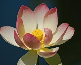 Lan Su lotus