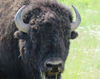 Bison Grazing, Wildlife Photography, Bison Head, Nature