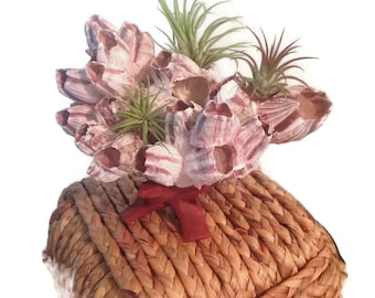 Barnacle Planter with Air Plants Tillandsia and Wood Stand Beautiful Barnacle Cluster with Air Plants Great for Wedding Favor or Beach Decor