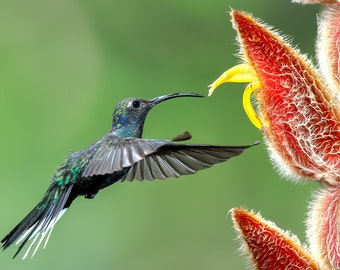 Hummingbird Photo, Hummingbird Print, Nature Print, Fine Art Print, Bird Picture, Bird Photography, Wall Art, Violet Sabrewing, Hummingbird