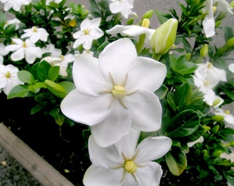 Gardenia Thunbergia 10 Seeds, Fragrant Wild Evergreen Tree Plants / Shrub Hedge