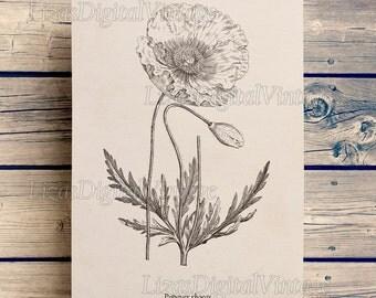 Poppy wall art, Printable botanical print, Poppy print, Antique print, Flower print, Poppy clip art, Botanical art print, Vintage print
