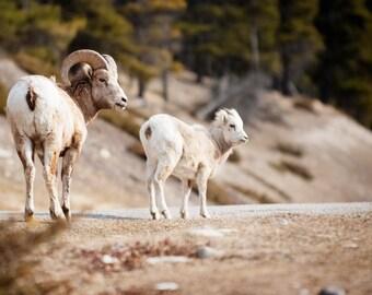 Big Horn Sheep - Family