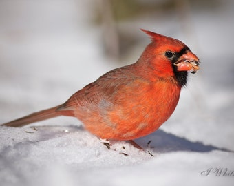 Cardinal in the snow // Bird Photography // Wildlife Art // Nature Print