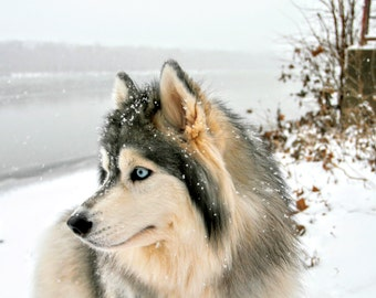 Siberian Husky Photography in Winter, Dog Photography, Dog Art, Dog Photo, Outdoor Photography, Nature Photography, Hiking With Dogs