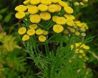 Tansy Golden Button Flower Seeds/Tanacetum Vulgare/Perennial  100+