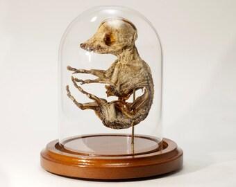 Mummy - Anatomical Specimen - Pig Embryo Mummified