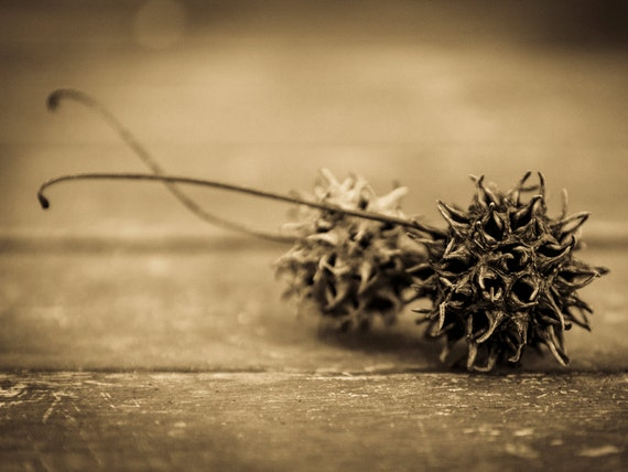 TREE SEEDS. Sepia Toned Print, Plant Picture, Nature print, Photographic Print, Limited Edition Print.