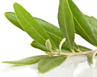 Olive Tree Leaves Organic - Dried Olive Leaves Tea - Olea Europaea Organic Leaves