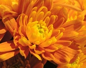 Nature Photography Chrysanthemum Fine Art Giclee Print 'Golden Chrysanthemum' Original Photograph 5 x 7, 8 x 10, 11 x 14 Flower Close Up
