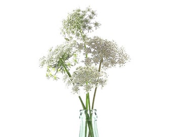 Botanical Art Print, Foral Nature Queen Anne's Lace, Still Life, Interior Design Decor, Flower, Pacific Northwest, Oregon Pastel White Green