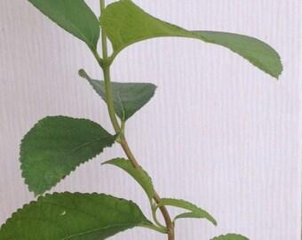Aloysia virgata 'White Almond Bush' ~ Fragrant Sweet Almond Bush ~ Live Plant