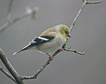 Goldfinch female - A7 greeting card