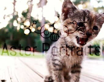Kitty Cat Kitten Photography, Digital Download, Printable Art