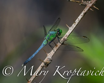 Blue Dasher Dragonfly Photography, Nature Photo, Insect