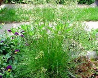 Tufted Hairgrass 30 Seeds- Beautiful Ornamental Grass
