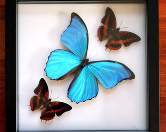 Exotic Butterfly Display: Morpho and Charaxes Butterflies