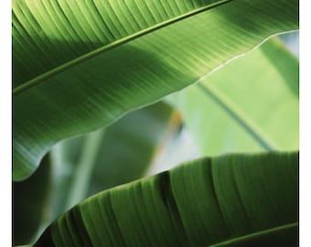 Nature Photography  - Green Art - Flora -  Fine Art Photograph - Green Leaf Print - Banana Leaf - Botanical Art - Oversize Art - Alicia Bock