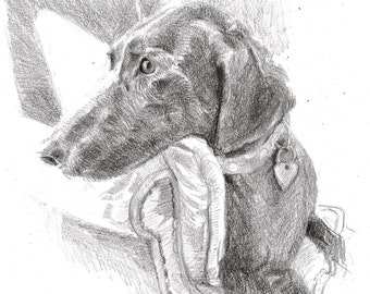 """Pet portrait, in pencil on paper, 8 x 10"""", made to order"""