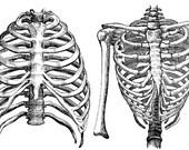 rib cage human anatomy torso png clip art digital image graphics download skeletons medical science