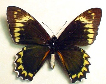 Real Framed Battus Madyes Swallowtail Butterfly 793