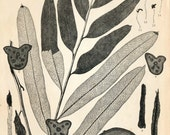 1936 Japanese Large Vintage Botanical Print. Acrostichum aureum, Linneus - Plate 301
