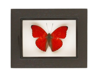 Red Sangria Butterfly Real Insect Display