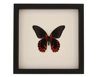 Framed Butterfly Scarlet Mormon Butterfly UV blocking glass