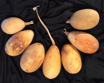 7 Small Oblong Gourds