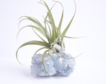 Airplant on Celestite Geode, Crystal Air Plant Display, Brachycaulos, Pale Blue, Boho Deco, Indoor Plant,  Spiritual, New Age