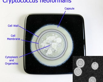 Cryptococcus neoformans Fungus Fused Glass Art Tile Coaster