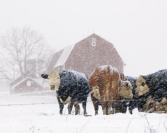 Cattle Herd with Red Barn during a Snowstorm in West Michigan No.02962 A Fine Art Winter Agricultural Photograph