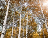 Nature Photography Landscape Photography  Forest Aspen Trees Fall Photography Autumn home decor  Fine Art Photography Print