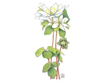 Windflower or Rue Anemone, Watercolor Botanical Illustration, Postcard