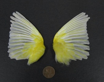 Pair of Yellow Fanned Out Wings Dried Birds Wings Feathers Art Craft Taxidermy