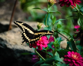 Butterfly Photography nature photography,zinnias,butterfly print,pink flowers,yellow and black butterfly ,baby nursery decor,swallowtail