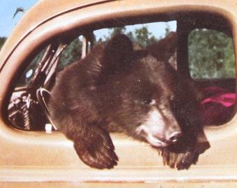 """Vintage 1969 Canadian Rockies  Postcard Banff, Canada """"Bear in Car"""""""