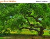 SALE 20% OFF Threadleaf Japanese Maple Tree in Summer Fine Art Landscape Photograph Green Zen Home Decor Tree of Life Nature 16X24 Art Print