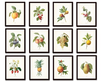 Antique Fruit Prints - Redoute Fruit Prints - Gallery Wall Art - Giclee Canvas Prints - Illustrations - Print Sets - Botanical Prints