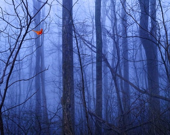 Red Cardinal in Blue Forest