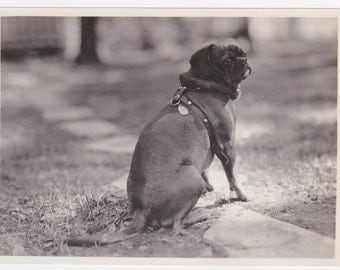 30s/40s Gorgeous PUG portrait Sweet Black pug dog wearing leather Stud Harness shows tags w INCREDIBLY Long TAIL old Vintage Photo 5x7
